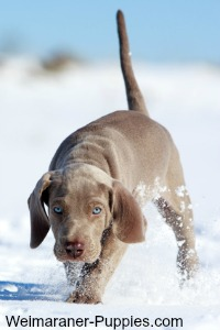 One of cute Weimaraner puppies running in a snow field