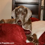 Dog hip dysplasia is common in older Weimaraners.