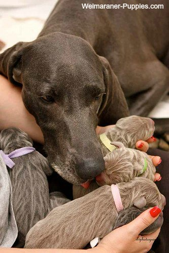 With dog pregnancy symptoms, your dog will need special care.