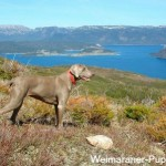 Weimaraner hunting dogs' names should fit the dog.