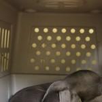Weimaraner dog in emergency travel crate