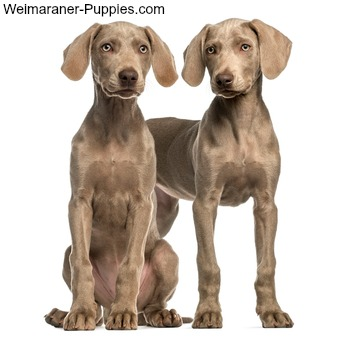 Two adorable 2.5 month old Weimaraner puppies