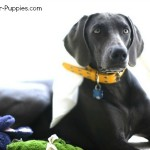 Blue Weimaraner, the subject of controversy