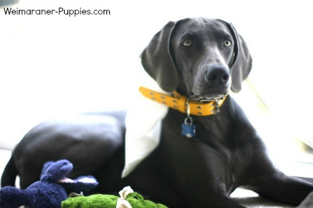 blue weimaraner with yellow collar, lying down