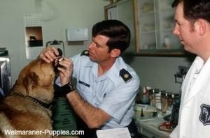 Vet checking dog teeth because of bad breath