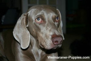 Cleaning dog ears on this Weimaraner