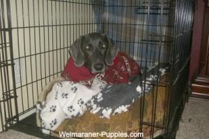Weimaraner dog in her crate