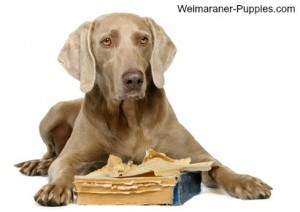 This Weimaraner Dog needs canine behavior modification after chewing a book.