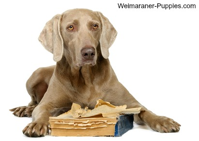 Dog behavior modification is needed for this Weimaraner who just chewed a book.