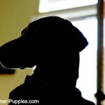 Dog incontinence can occur in seniors