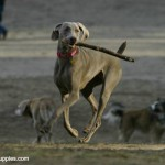 Weimaraner dog being trained to retrieve, using a stick