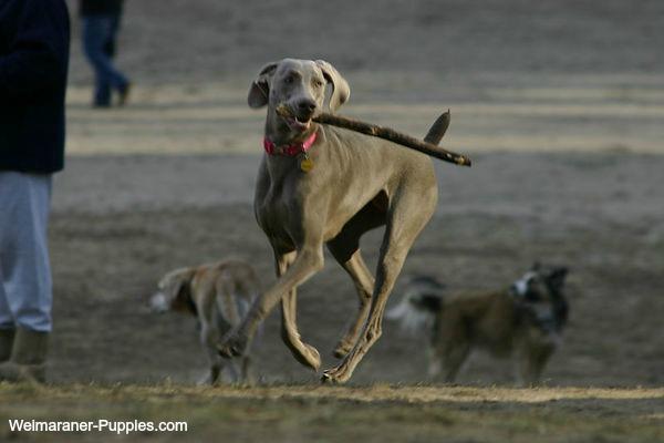 Dog training games like Fetch, help Weimaraners learn basic commands.