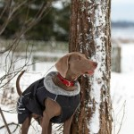 Hunting dog vest on Weimaraner