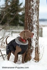 Hunting dog vest on Weimaraner