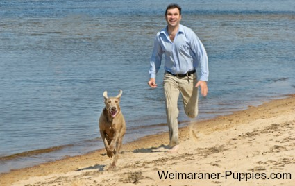 Beach safety tips for romping on the beach with your Weimaraner.