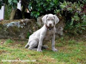 Weimaraner puppy that is being housebroken