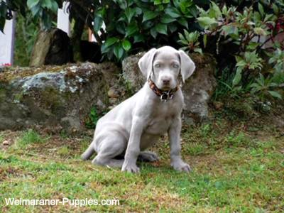 Housebreaking puppy is easy if you take your dog outside routinely, like this Weimaraner puppy