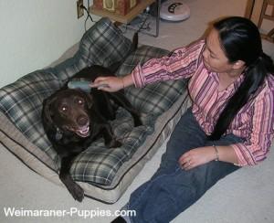 Woman sitting on the floor brushing her Weimaraner dog.