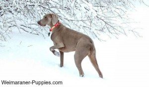 Hunting dog breeds like this Weimaraner love to be outside in all kinds of weather.