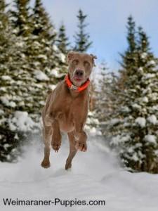 Hunting dog collars improve hunting success.