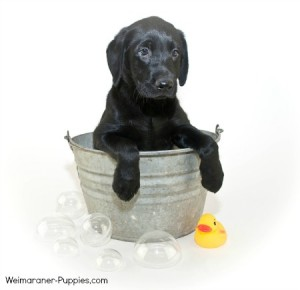 Blue Weimaraner bathing with hypoallergenic dog shampoo and with rubber ducky and bubbles