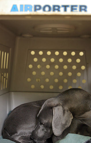 Weimaraner dog in a large emergency travel crate.