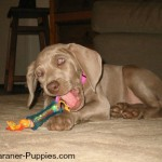 New Weimaraner puppy chewing on toy