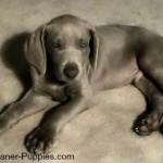 New Weimaraner puppy lying on carpet