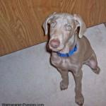 Weimaraner puppy sitting upon command