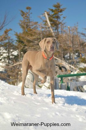 Rabbit hunting tips for working with Weimaraners