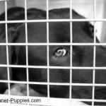 Weimaraner dog in his crate