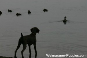 Training hunting dogs is most effective in the field.
