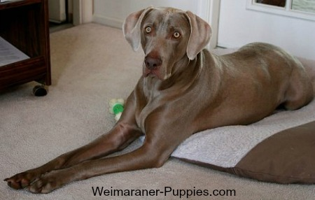 Travel with dog is easy with a padded portable bed like this Weimaraner's.