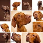 Vizsla dogs are cousins to the Weimaraner