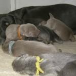 Weimaraner dog with puppies.