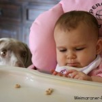 Weimaraner dog breed characteristics and temperament are important if you have children.