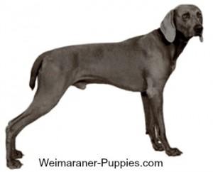 Weimaraner dog profile