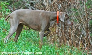 Weimaraner hunting dog, pointing into the weeds