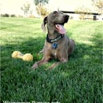 Weimaraner temperament is sociable and loyal