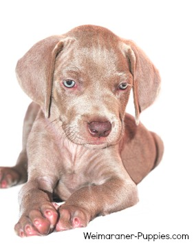 Cute new Weimaraner puppy that is about 8 weeks old.