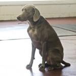 Dog hip dysplasia is common in older Weimaraners.
