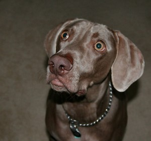 Good dog pet care insures a healthy dog like this cute Weimaraner.