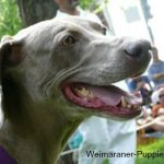 Weimaraner with healthy teeth