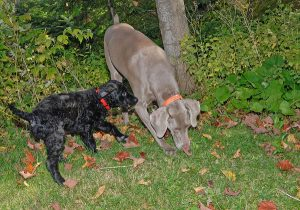 Exploring together is typical canine behavior