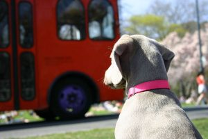 Weimaraner dog waiting for school bus