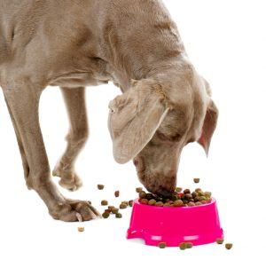 Weimaraner eating dog food in a bowl.