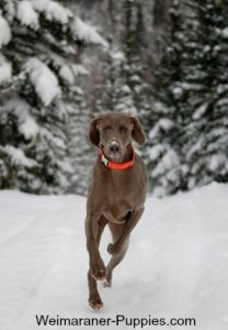 Fun dog games with Weimaraners
