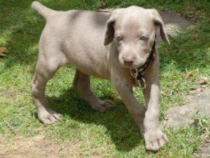 Weimaraner puppy on grass