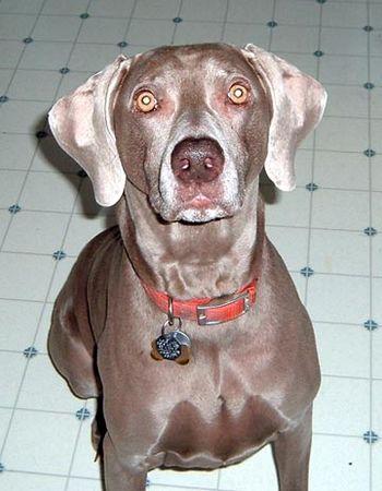 Training Your Weimaraner Puppy to Hunt