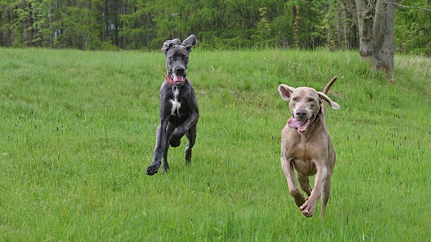 Training your Weimaraner to hunt requires time outdoors